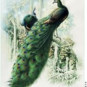 красивая открытка павлины